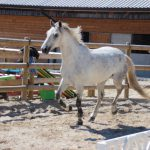 vente-poney-finistere-IMG_3766